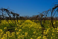 Spring vineyards in North East, PA. But I have to say I LOVE them in the fall and the grapes they produce and the best wine that it's made from.  — in North East, Pennsylvania.