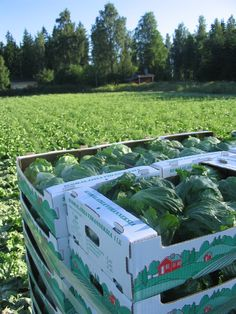 Iceberg lettuces in carton box. Photo by Jorma Lindström