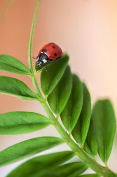 Lady bug exploring a plant. Lady Bug, She's A Lady, Lady In Red, Love Bugs, Macro Photography, Belle Photo, San Antonio, Cute Animals, Pretty Animals