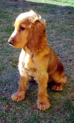 English Cocker Spaniel - looks just like Baxie when he was a puppy...