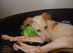 Pup FICUS is een schat!!        Zoekt een thuis met andere hond liefst.   In opvang Nederland. http://www.podencoworld.nl/nieuws/316-bezorg-ficus-een-prachtige-kerst…