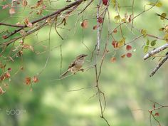 House Sparrow - A house sparrow in the wild. Thanks for viewing.