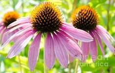 Echinacea  Photograph by Andrea Anderegg
