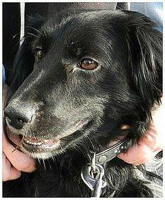 LOOPING, né en 2005, Looping est un petit chien qui a été récupéré par la fourrière après avoir été renversé à Aumetz. Il est au refuge depuis décembre 2011. Mis en confiance c'est un amour mais il ne supporte pas que certaines personnes le remettent en box. Il n'aime pas les chats. SOS ANIMAUX (Meurthe-et-Moselle) 06 99 12 70 40