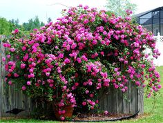 AWESOME pink roses in a garden!  THE FRENCH HUTCH blog