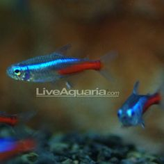 "Neon Tetra Jumbo Minimum Tank Size: 10 gallons Care Level: Easy Temperament: Peaceful Water Conditions: 68-74° F, KH 4-8, pH 5.0-7.0 Max. Size: 2"" Color Form: Blue, Red Diet: Omnivore Compatibility: View Chart Family: Characidae"