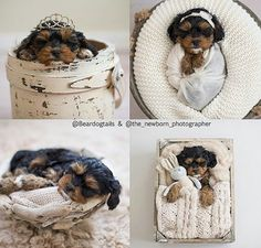 https://photography-classes-workshops.blogspot.com/ #Photography Love Love Love...sweet little puppy swaddled in our Cotton Ivory Dream Wrap! Oh it doesnt get any cuter than this!!!! Thank you to Valerie Ackerman Photography for these amazing images! | Photo Props | Custom Photo Props | Pet Photography | Pet Photography Prop | Pet Portraits | Pet Props | Baby Photography Props | Prop Vendor | Newborn Photography Props | Yorkie Puppy | Cute Puppy | Tiara |