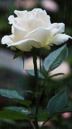A rosa em todas as cores tem a perfeição de DEUS!!!
