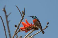 Greater Double-collared Sunbird - Martin Benadie - South Africa - www.birdingecotours.com