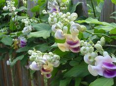 le Haricot caracolle est une des plantes grimpantes les plus originales