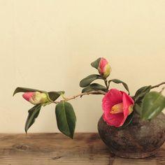Camellia japonica, simple yet beautiful