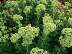 white sedum   How to Grow Sedum / Stonecrop?