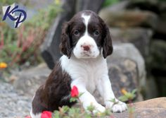 Hillary – English Springer Spaniel Puppy  #springerspaniel  #keystonepuppies