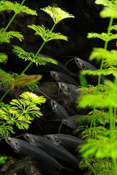 Glass catfish - Kryptopterus bicirrhis