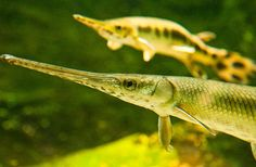 Longnose Gar remains have been found dating back to the Cretaceous period.