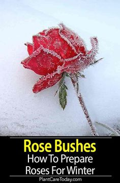 rose garden Preparing rose bushes for winter can be challenging. Rose plants need to be well watered and mulched. Checked for garden pests and diseases. [LEARN MORE]