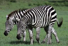 The wavy lines of a zebra blend in with the wavy lines of the tall grass around it. It doesn't matter that the zebra's stripes are black and white and the lines of the grass are yellow, brown or green, because the zebra's main predator, the lion, is colorblind. The pattern of the camouflage is much more important than its color, when hiding from these predators. If a zebra is standing still in matching surroundings, a lion may overlook it completely.