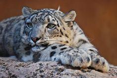 01089 Snow Leopard