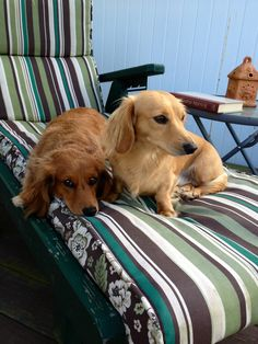 Summer evening with my Doxie Duo.