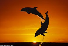 Jumping for joy: The dolphins which don't stop playing even when the sun goes down    Read more: http://www.dailymail.co.uk/news/article-2134646/Jumping-joy-Dolphins-don-t-stop-playing-sun-goes-down.html#ixzz1t4OXsAXJ