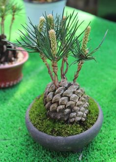 Bonsai trees and associated plants. Focussing on styling bonsai, showing member's trees, bonsai care and general help. Plantas Bonsai, Bonsai Garden, Garden Plants, Bonsai Trees, Garden Pods, Tree Garden, Outdoor Bonsai Tree, Bonsai Soil, Succulent Bonsai