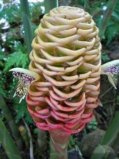 Google Image Result for http://images.travelpod.com/tw_slides/ta00/a6f/290/a-weird-looking-plant-at-tbg-ginger-i-think-volcanoes.jpg