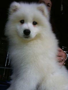 Samoyed.. it's so fluffy I'm gonna die!!!