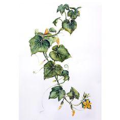 """Думаю только ленивый художник еще не нашел и не прочел книгу """"Портреты фруктов и овощей"""". Вдохновляет без сомнения! Не удержалась и нарисовала с натуры огурцы, что созревают на балконе. #art #artist #illustration #botanical #cucumber #flowers #winsorandnewton #aquarelle #watercolor #mif #drawing #art_stupenka #рисование #акварель #иллюстрация #живопись #огурцы #ботаническаяиллюстрация #одинденьсхудожником #растения #миф #манн_иванов_фербер #ботанический_баттл"""