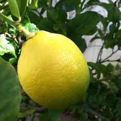 Perfect yellow lemon