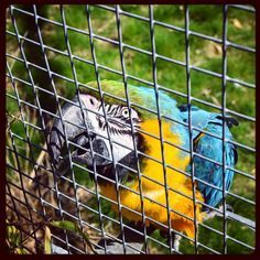https://flic.kr/p/26SRE4z | #Today / #21 |  #Photography & #postprocessing    From: #2018 (6-4-2018)     #Mierlo, #Netherlands      #Animal, #Bird, #Macaw    #Zoo, #Dierenrijk, #Colorful   MADE with: #NIKON #D5600  ( F/8 - 1/323s - 35 mm - ISO/400 )  EDITED with: #Instagram  ( #Hudsonfilter, #Frame, #LUX, #Vignette )  BY K.J.V.W 2018