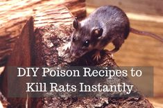 Rats are dangerous! They can spread germs, destroy things in your home, and even start electrical fires. Rats and their fleas carry disease. Here are three recipes for homemade rat poison that works. Best Rat Poison, Homemade Rat Poison, Rat Trap Diy, Roof Rats, Mouse Poison, Killing Rats, Getting Rid Of Rats, Mice Repellent, Natural Rat Repellent