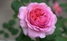 David Austin rose Princess Alexandra of Kent.A rose that bears her name has unusually large flowers of a warm, glowing pink. They are full-petalled and deeply cupped in shape, all enclosed in a ring of outer petals of a softer pink; creating a most pleasing effect.