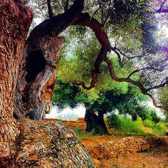 Millennium olive tree in Remei ermitage of Alcanar, Tarragona, Catalunya