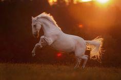 Mesmerizing horse pictures that will make your day! #horses#horse#horselovers#horselove#lovinghorses#beautifulhorsepictures#horseriding#stunninghorses#beautifulhorses#loveforhorses#stallions#polopony#pony#whitehorses#equestrian#marwarihorse#marwari#thoroughbred#ponies#horsepictures#horsephotography#horsebackriding#LAPOLO Polo Horse, Beautiful Horse Pictures, Horse Training, Horse Breeds, Horse Photography, Thoroughbred, Horse Art, Equestrian, Horses