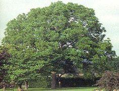 Plants that grow under black walnut trees