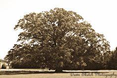 """Bebb Oak Summer"" by Dawn Sketch Photography    North America's Largest Bebb Oak Tree located in Rochester Hills, MI."