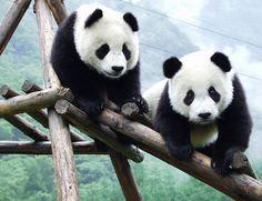 giant panda | Amazing Giant Panda: Endangered Species, Giant Pandas Facts, Photos ...