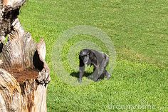 Download Pan Troglodytes Stock Photo for free or as low as 6.94 руб.. New users enjoy 60% OFF. 20,414,383 high-resolution stock photos and vector illustrations. Image: 34123130