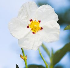 Labdanum is a resin obtained from the shrubs Cistus ladanifer species of rockrose. It has a long history of use in herbal medicine and as a perfume ingredient.  No note of anti-pest use.   History: In ancient times, the resin was scraped from the fur of goats and sheep that had grazed on the cistus shrubs. It was collected by the shepherds and sold to coastal traders. The false beards worn by the pharaohs of ancient Egypt were actually the labdanum soaked hair of these goats.