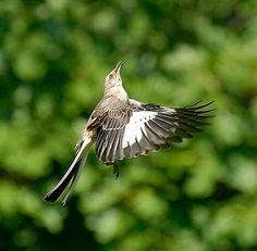 If you've been hearing an endless string of 10 or 15 different birds singing outside your house, you might have a Northern Mockingbird in your yard.  © Bob Baker, Greene County, Virginia