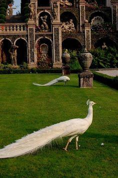 White Peacocks in the Garden
