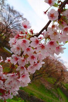 The Cherry Blossom Tree