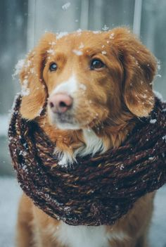 Nova Scotia duck rolling retriever I'm the snow Best Puppies, Best Dogs, Dogs And Puppies, Doggies, Puppy Obedience Training, Best Dog Training, Chien Toller, Toller Dog, I Love Dogs