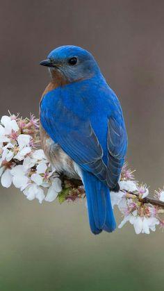 Beautiful and amazing birds - Blue Bird! All Birds, Cute Birds, Pretty Birds, Little Birds, Beautiful Birds, Animals Beautiful, Cute Animals, Birds And The Bees, Funny Birds