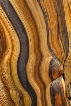 Patterns in a bristlecone pine. by Don Paulson :