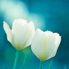 Flower Photography - aqua blue flower photo teal turquoise wall art tulips photograph white nature photography - 8x10 Photo, - Charisma    Flower Photography - Original fine art photograph of pure white tulips kissed by the sun against an enchanting turquoise background.    $30.00