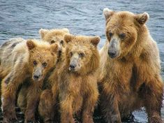 See brown bears in Katmai National Park after a spectacular flight out of Homer with Bald Mountain Air. Animals Images, Animals And Pets, Wild Animals, Katmai National Park, National Parks, Alaska Travel, Alaska Trip, Brother Bear, All In The Family