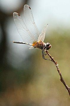 Thumbi! Backwater Dragonfly, Kerala