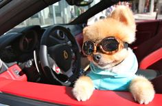 Jiff - The Second Most Famous Pomeranian In The World