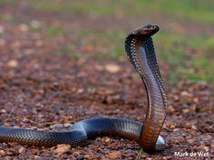 cape cobra - Google Search